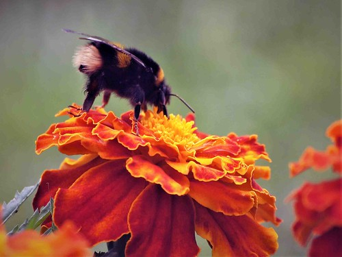 Bombus terrestris Bee