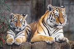 Tiger mom and daughter