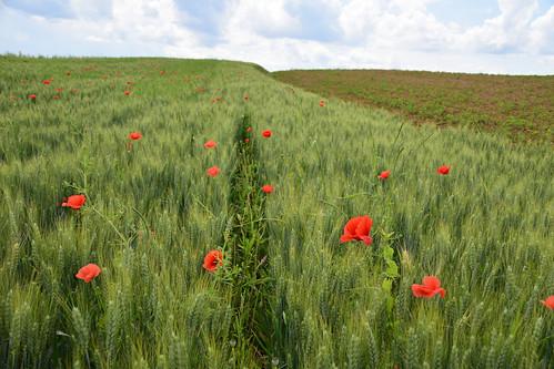 Des taches rouge dans les champs