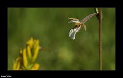 L'épipactis des marais (Epipactis palustris) - Côte aux Chèvres - Malans