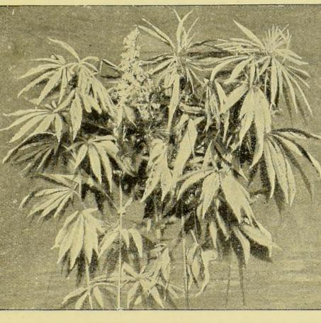 This image is taken from Page 11 of Hemp (Cannabis Sativa) : a practical treatise on the culture of hemp for seed and fiber, with a sketch of the history and nature of the hemp plant