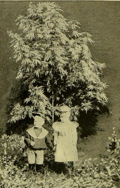 This image is taken from Hemp (Cannabis Sativa) : a practical treatise on the culture of hemp for seed and fiber, with a sketch of the history and nature of the hemp plant