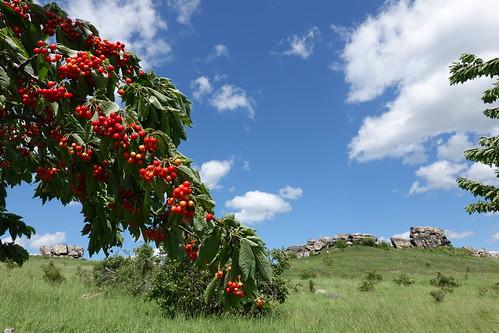 Kirschbaum mit Blick auf die Teufelsmauer