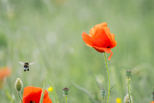 Poppy and the bumblebee