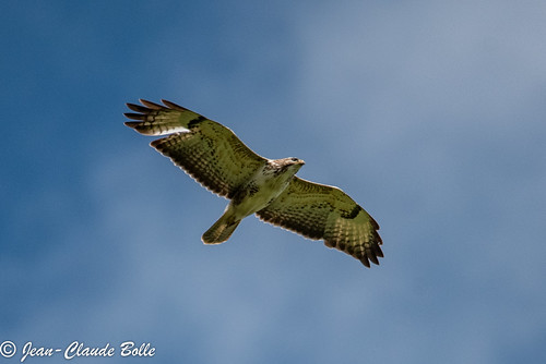 Buteo buteo - Common Buzard