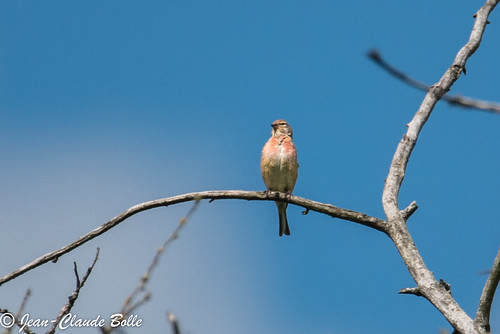 Carduelis cannabina ♂ - Common Linnet.