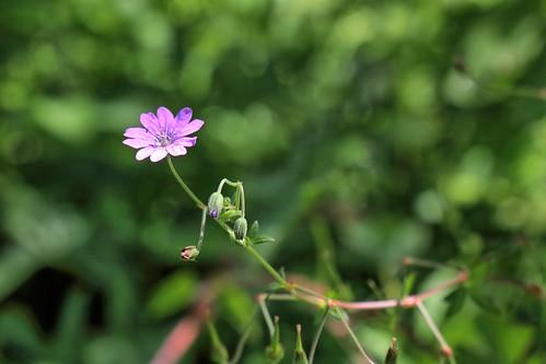 20190617 017 Puth, Bermooievaarsbek - Geranium pyrenaicum