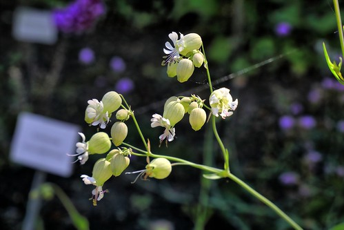 20190617 013 Puth,  Blaassilene - Silene vulgaris