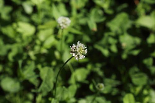 20190617 021 Puth, Witte klaver - Trifolium repens