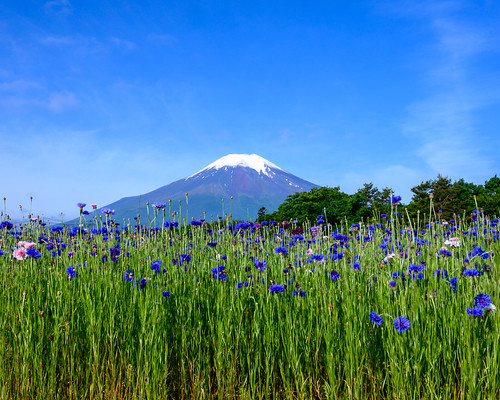 Early summer Fuji and Cornflower