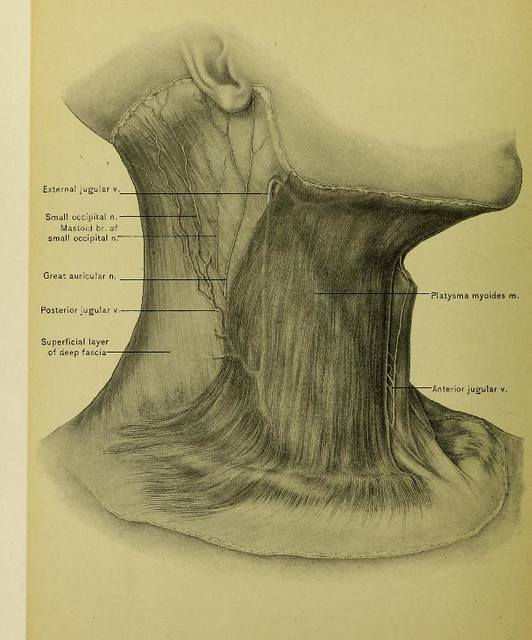 This image is taken from Page 30 of Surgical anatomy of the head and neck : neck mouth pharynx larynx nose orbit eyeball organ of hearing brain back of neck cranium scalp face