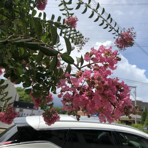Pink Crape Myrtles