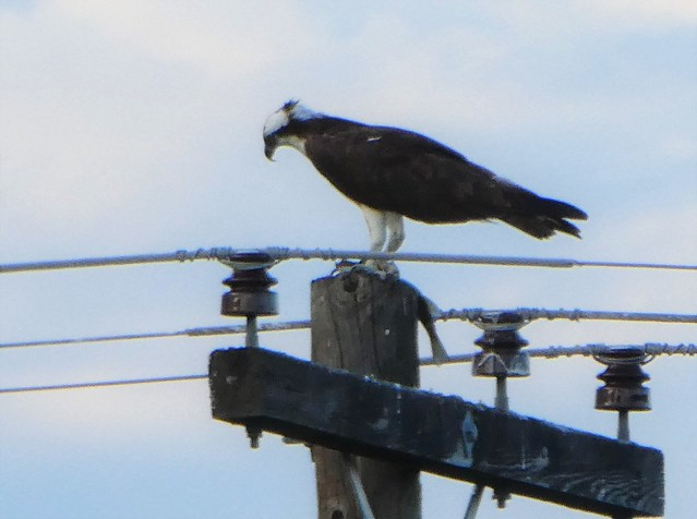 P1560297 Osborn Bay osprey with yet another fish 6-16-2019