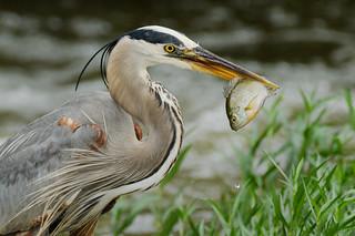 Heron vs Bluegill