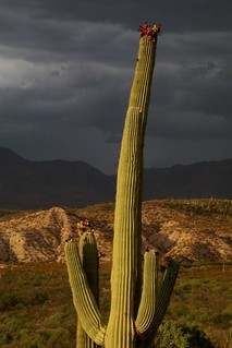 Fruiting Saguaro Catus against the Galiuro Mountains at sunset