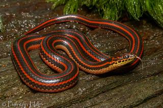 Rainbow Snake (Farancia erytrogramma)