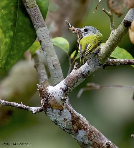 Short-tailed-Pygmy Tyrant.
