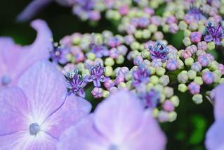 植物園散歩 ~紫陽花~