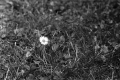 Lonely Daisy - Photo of Verneuil-sur-Seine