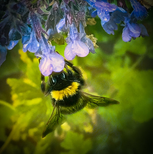 Bumble on Nepeta