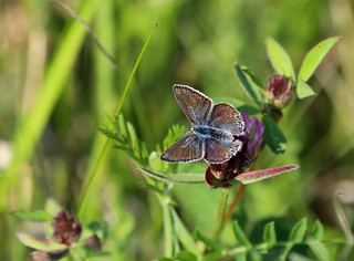 Almindelig blåfugl (Common Blue / Polyommatus icarus)