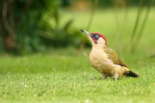 Green Woodpecker ( Picus viridis )