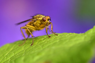 Yellow Dung-fly ... Scathophaga stercoraria