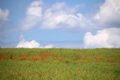 Petite touche de rouge dans le colza - Photo of Oberhoffen-lès-Wissembourg