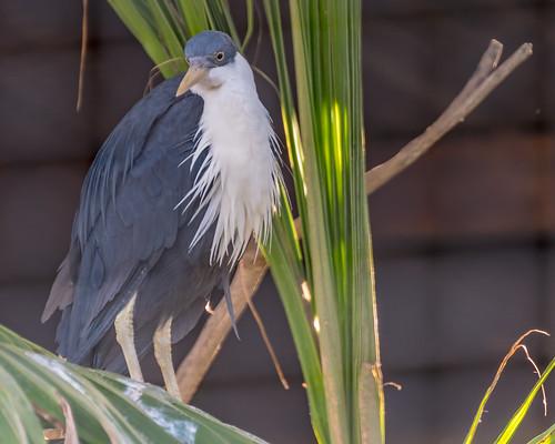 White Bearded Heron