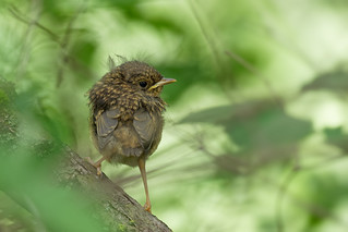 Rougegorge familier - Erithacus rubecula - European Robin