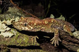 Tautuku gecko