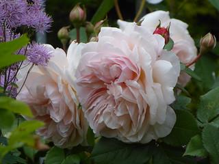Rose 'A Shropshire Lad'