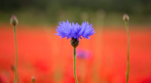 Centaurea cyanus – CORNFLOWER