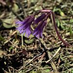 Lautaret: Soldanella alpina