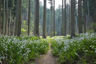 シャガ群生地16・Flower Fields in the Forest