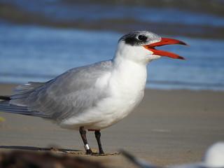 Caspian Tern at Yambuk