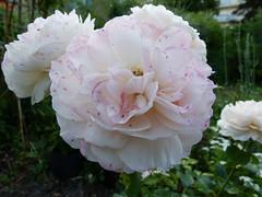 Rose 06.2019