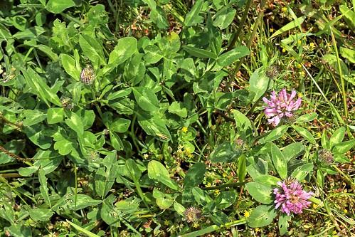 20190619 029 Puth, Rode klaver - Trifolium pratense