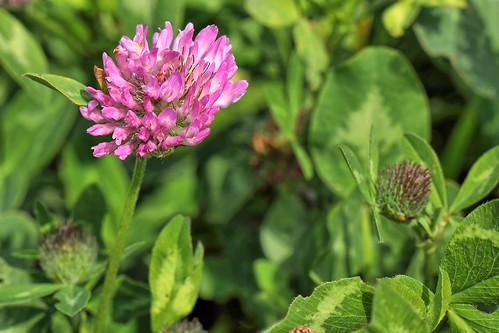 20190619 030 Puth, Rode klaver - Trifolium pratense
