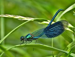 Calopteryx splendens splendens mâle