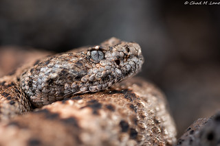 Speckled Rattlesnake (Crotalus mitchellii)