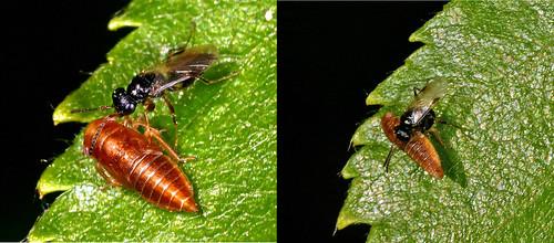 Zikadenwespe (Dryinidae sp.) legt Ei in Zikade ab!