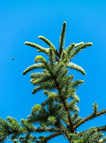A wasp just before landing on the top of a blue spruce, once our Christmas tree, and planted years ago in the garden by us, and now >6 mtrs high.
