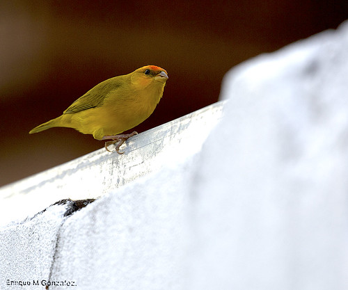 Orange-fronted Yellow Finch.