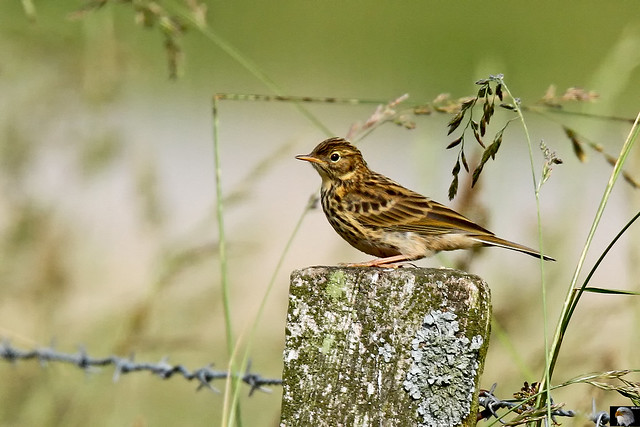 Wiesenpieper ( Anthus pratensis ) Meadow-pipit