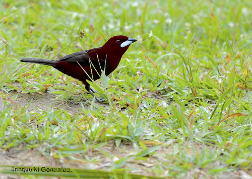 Silver-beaked Tanager.