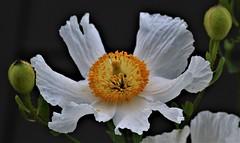 Matilija Poppy Blossom