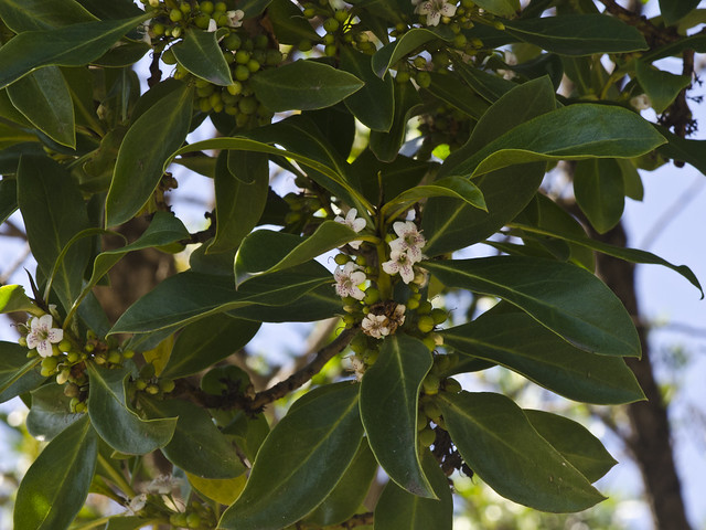 Myoporum laetum (Ngaio Tree) -- Scrophulariaceae
