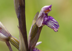 Violet Limodore (Limodorum abortivum) - Photo of Cause-de-Clérans