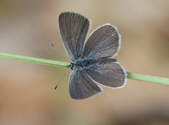 Small Blue (Cupido minimus) - Photo of Cause-de-Clérans